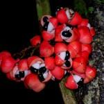Guarana-Früchte