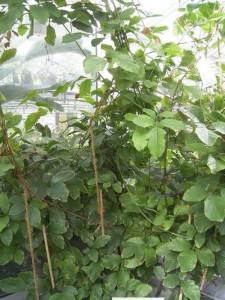 Guarana-(Paullinia cupana)
