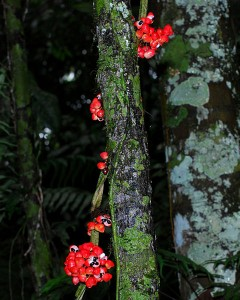 Guarana die Kletterpflanze